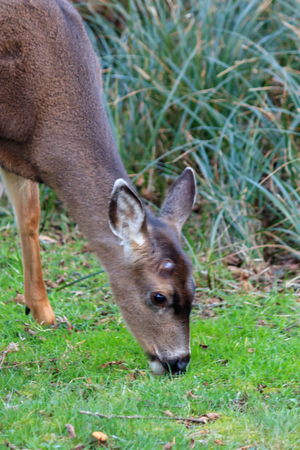 small deer eating grass in washington state