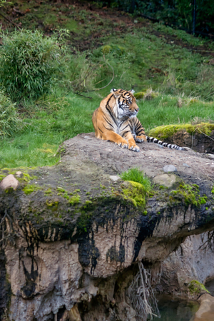 Tiger on a rock cliff