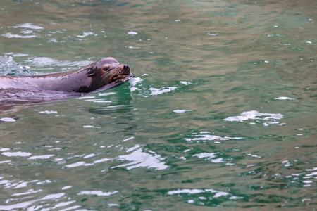 seal swimming in blue water Standard-Bild