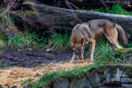 Red Wolf sniffing scent
