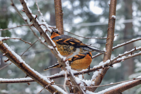 young robins sitting in branches 5 Banco de Imagens