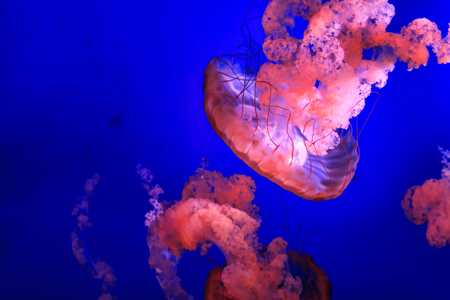 pink jellyfish against blue background 1