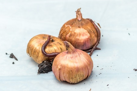 onions and worms on white