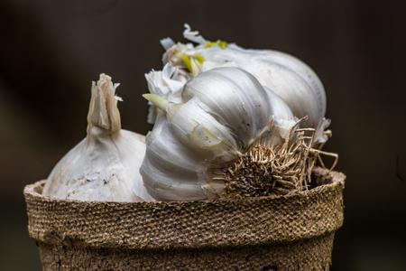 pot full of garlic bulbs Stock Photo