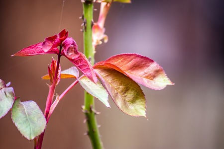 new leaves on rose bush with blurred background