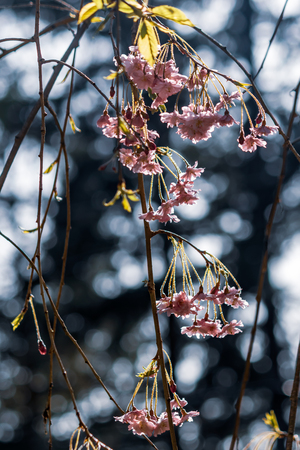 delicate grouping of pink hanging cherry blossoms