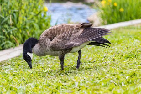 goose munching water weed Stock Photo