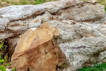 chopped down old tree trunk