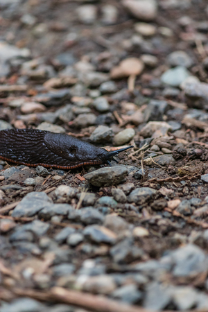 large slimy slug on path