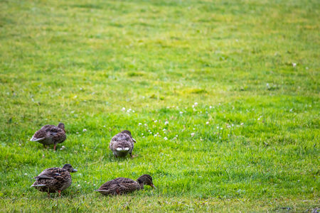 baby ducks on a lawn