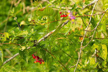 branch holding deadly nightshade berries glowing red Imagens