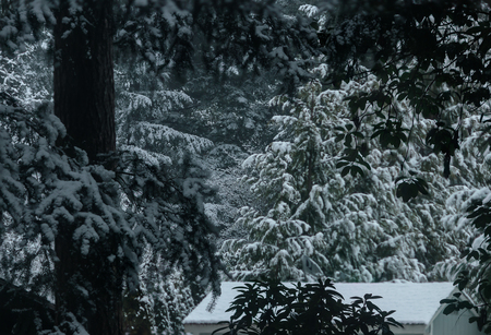 snow covered pine trees around a shed