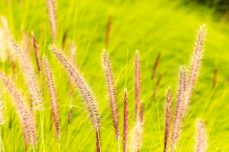 penniselum grass in red or purple, ornamental grass
