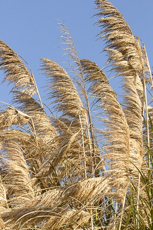 pampas grass blowing in the wind and sunlight, golden and silver