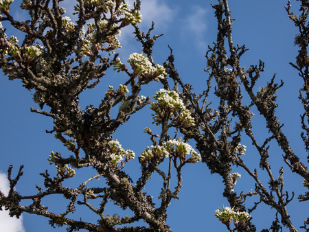 white buds opening on gnarled old tree in early spring