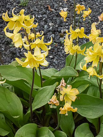 tall yellow daffodils with green leafs growing out of gravel