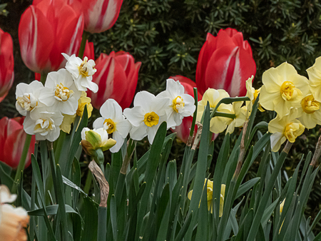 pale yellow and white daffodils in bloom in front of large red tulips Stock Photo