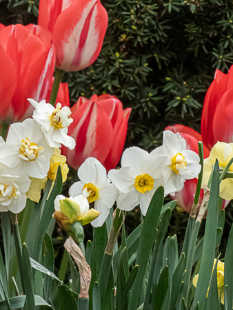 yellow and white daffodils in full bloom in front of large red tulips Stock Photo