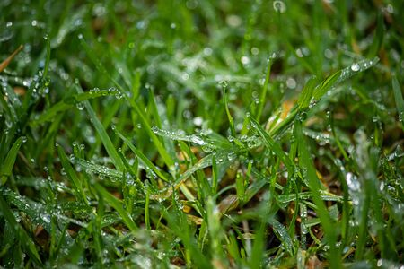 grass growing in spring with early morning dew drops on them from morning rain