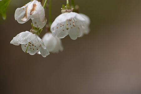 white blossoms of a cherry tree in the rain
