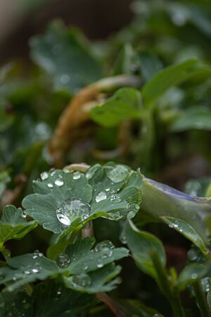 green garden leaves filled with dew drops in spring