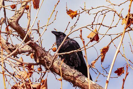 eucalyptus branches and twigs with fall leaves and seedpods, with a black crow on a limb Imagens