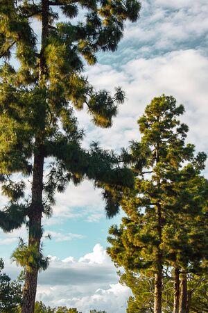 evergreens with panaramic view of sky with nimbus, cumulous clouds