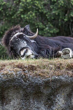large black furry muskox laying down and sleeping on top of a grassy hill Imagens