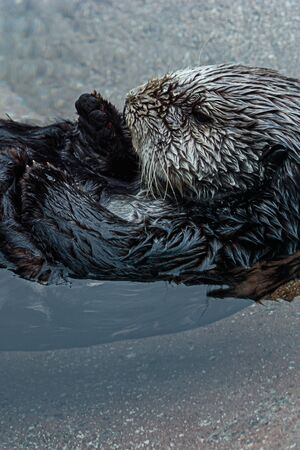 sea otter floating lazily on its back in clear cold water