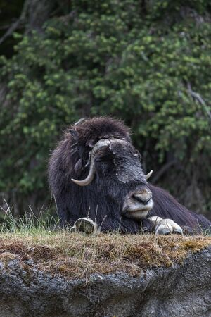 large resting musk ox survaying its surroundings and laying on top of a hill Imagens