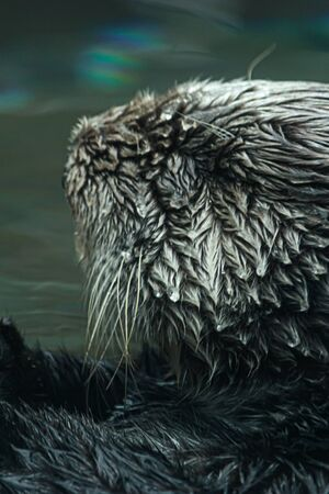 close up of a sea otters face floating in shallow water