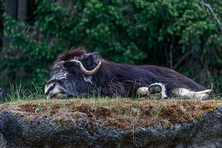 großer pelziger Moschusochse, der sich auf einem grasbewachsenen Hügel niederlegt und schläft