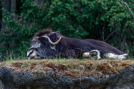 large furry musk ox laying down and sleeping on top of a grassy hill