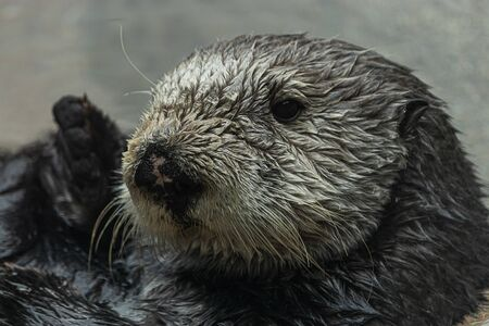 close up of a wet furry sea otter floating in water and looking at the camera