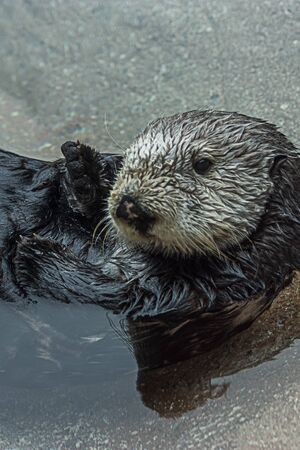 sea otter floating lazily on its back in clear cold water and looking at the camera