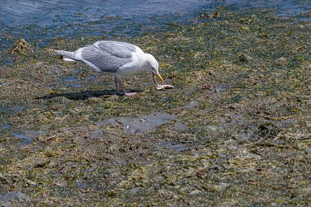 white seagull with gray wings standing on a low tide beach eating a small fish