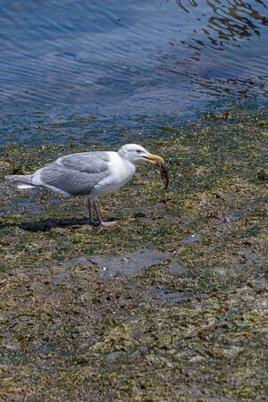 white seagull with gray wings on a low tide beach eating a small fish Imagens