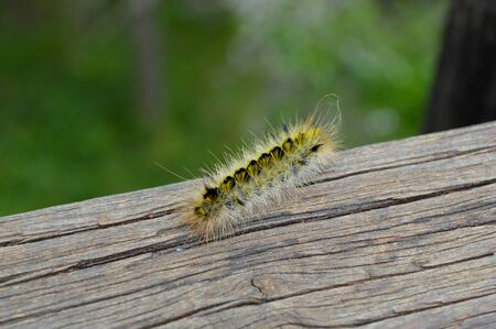 yellow fuzzy caterpillar moving around a deck railing