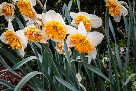 white and orange daffodil specimen with leaves planted in garden in sun