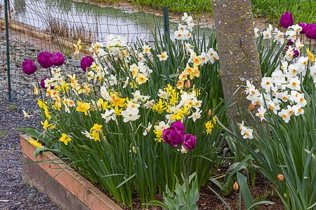 tulips, daffodils, growing in a flower bed with a tree in raised bed