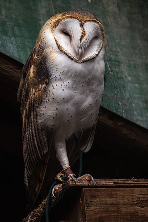 large barn owl perched on an old building observing its surroundings