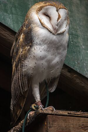 large barn owl perched on an old building