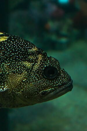 head of large spotted fish in saltwater tank Reklamní fotografie
