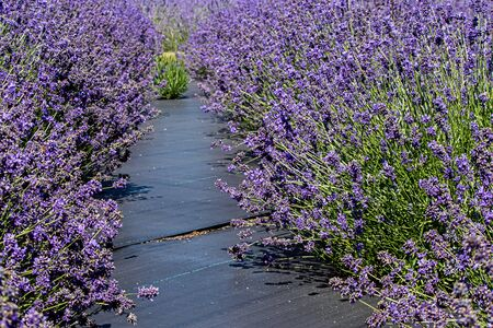 bright purple lavender flowers in full bloom on a farm in spring