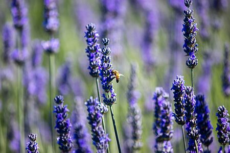 bee close up landed on a bright purple lavender flower in full bloom on a farm in spring