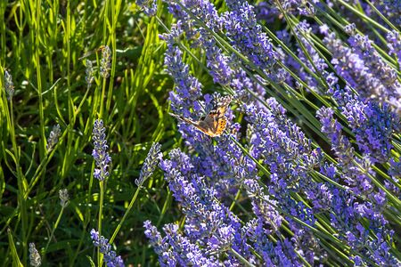 colorfull butterfly perched on the end of a lavender flower in full bloom in spring Фото со стока