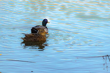 a male and female malard duck pair swimming in pond rippling