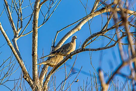 two doves perched together on tree branch against blue sky Stock Photo