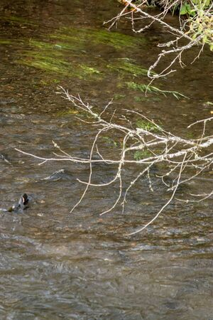 group of salmon swimming upstream under trees