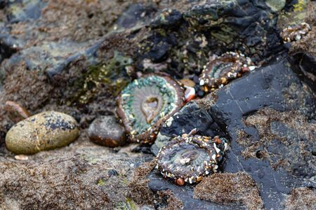 three sea anemones on intertidal rocks with mollusks and seaweed at low tide